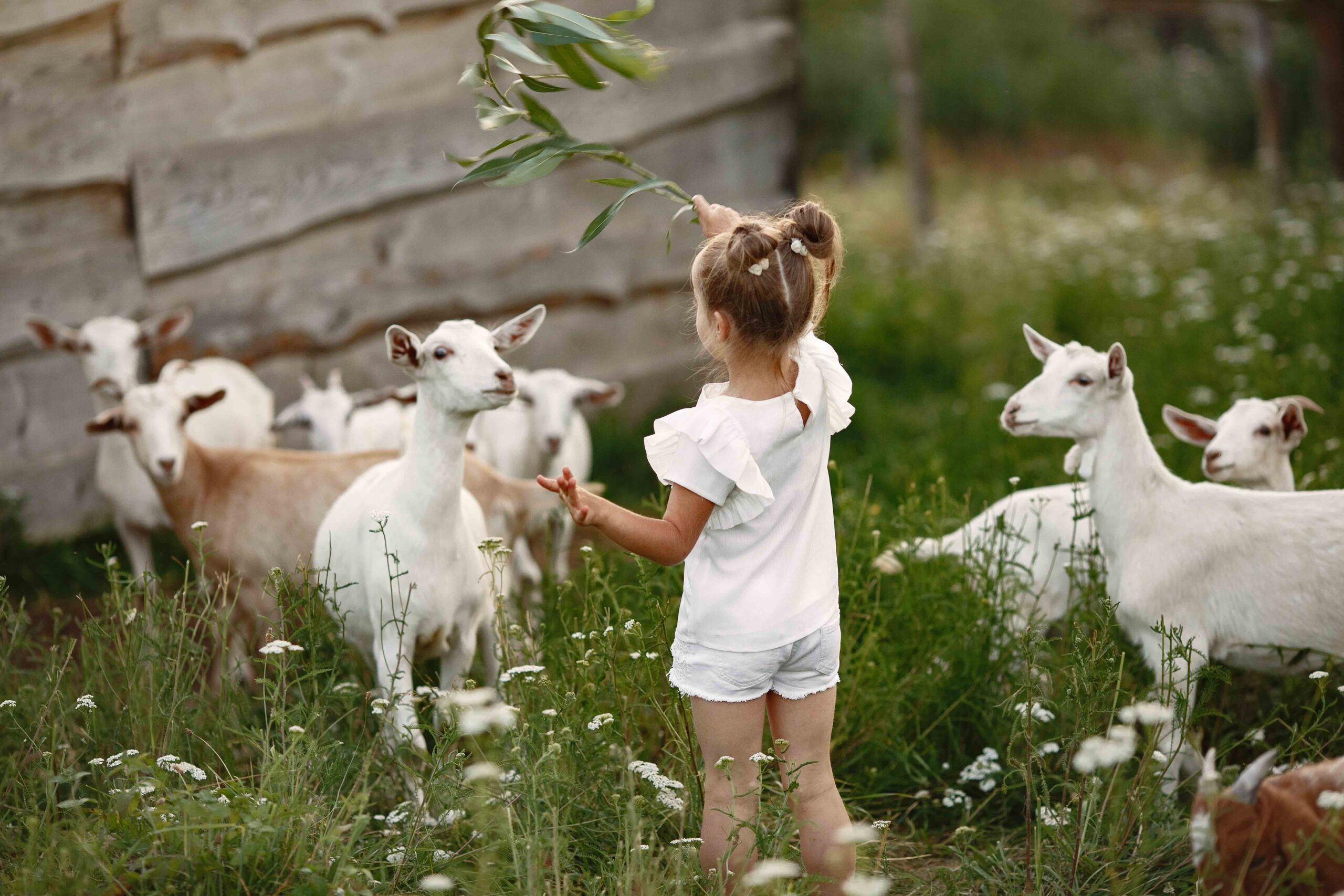 Pige fodrer geder med græs fra naturen. Hammersholt Enge. Koncept for fremtidens bæredygtige landsby.